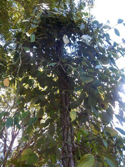 Ein Pfefferbaum. Oder Strauch?