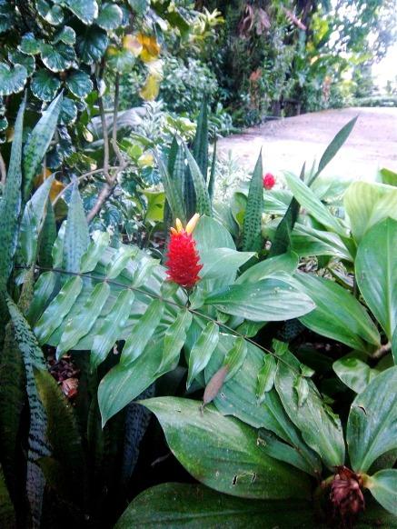 Eine der vielen verschiedenen Ingwer-Blüten