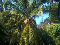 Der White Hornbill steht auf Palmfrüchte