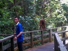 Nur zögerlich folgt der Orang Utan dem Ranger