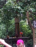 Fütterungsplattform für die Orang Utans - auch Makaken bedienen sich
