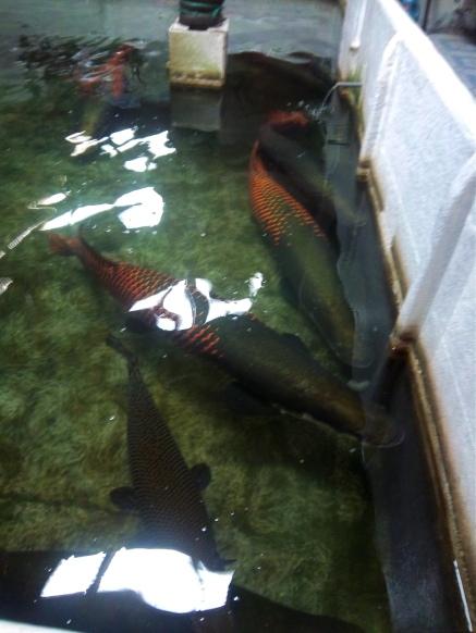 Am Hafen von Sandakan sehen wir riesige Fische, deren Namen ich leider vergessen habe
