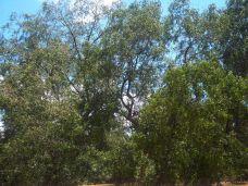 Suchbild: In den Bäumen sitzen mehrere Nasenaffen