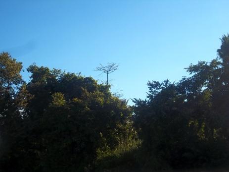 In dem fernen hohen Baum sitzen zwei Hornvögel