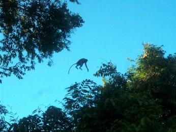 Gleich mehrere Nasenaffen hintereinander springen von einem Baum zum anderen und geben uns die Gelegenheit das zu fotografieren