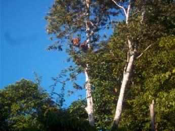 Und noch ein paar Nasenaffen im Baum