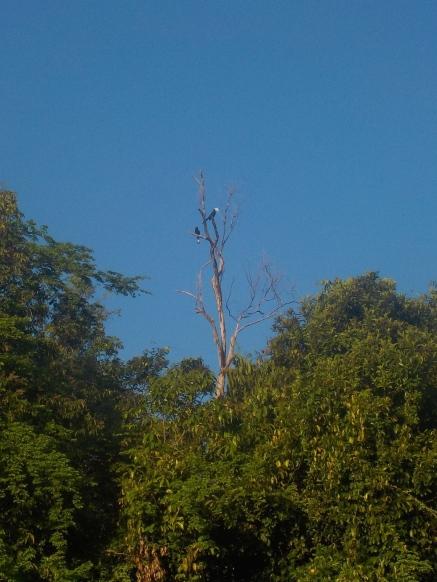 Hornvögel beim morgendlichen Ausflug