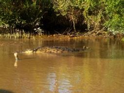 Als wir dem Krokodil zu nahe kommen, haut es lieber ab