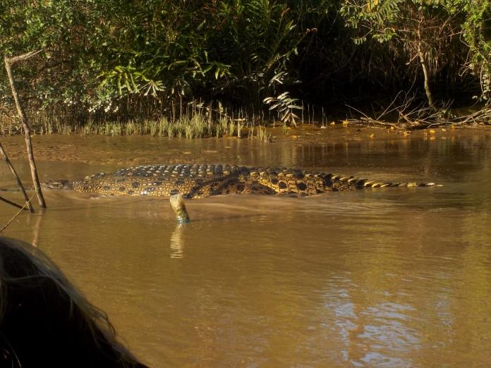 Der Grund fürs Badeverbot im Kinabatangan: Ein kapitales Krokodil