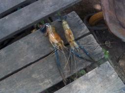 Anschauungsmaterial: Flussgarnelen