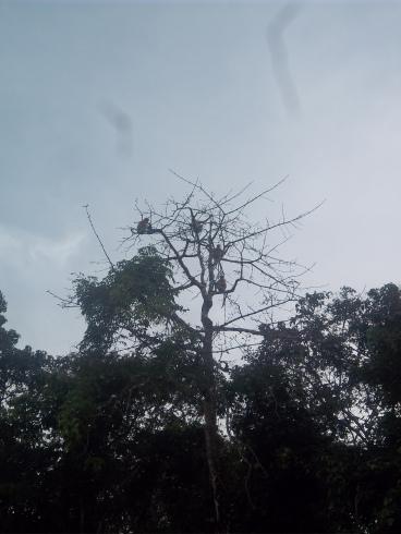 Allgegenwärtig auf Borneo: Affen