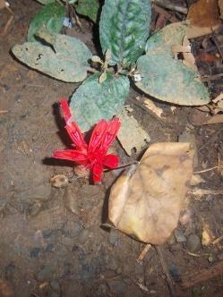 Im Botanischen Garten erfahre ich, dass meine Entdeckung von vor 2 Tagen eine Ingwerart ist.