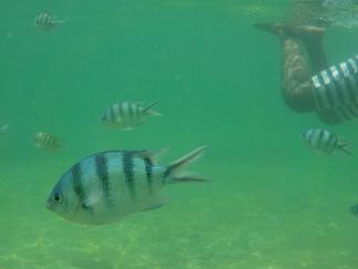Diese gestreiften Fische waren schrecklich neugierig und kamen ganz nah