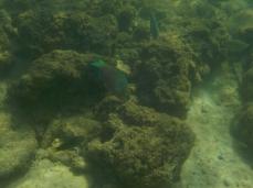 Viele Papageienfische knabbern an den Korallen