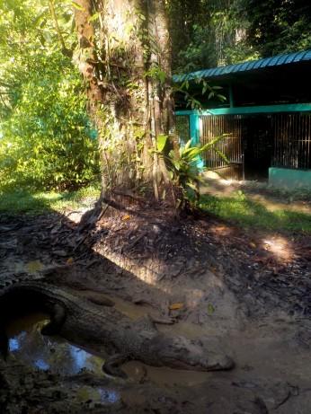 Krokodil im Semenggoh Nature Reservat