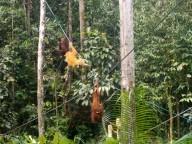 Die jüngeren Orang Utans haben oft ein helleres Fell als die Erwachsenen