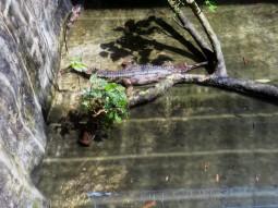 Verschiedene Krokodile und Kaimane gibts auf Jongs Krokodilfarm