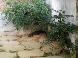 Ein Zwerg-Kaiman auf Jongs Krokodilfarm