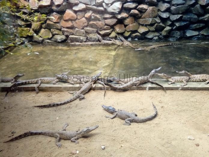 Nachwuchs auf der Krokodilfarm