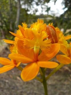 Meine Lieblingsorchidee wegen der scheinbar wilden Frisur