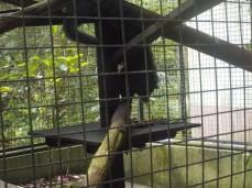 Hat offenbar Hunger: einer der Binturongs holt sich Bananen