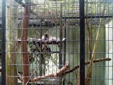 In der Hitze sind die asiatischen Raubkatzen faul