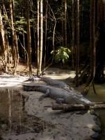 Auch Krokokdile leben in Matang
