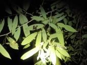 Überall angefressene Blätter