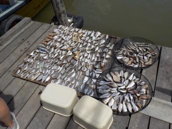 Der gefangene Fisch liegt zum Trocknen auch am Anleger