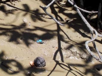 In den Mangroven sehen wir kleine leuchtend blaue Krabben