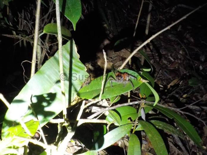 Immer wieder sehen wir auch diese kleinen Krabben auf den Blättern und Bäumen
