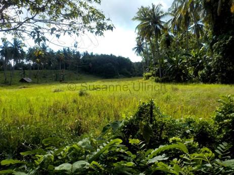 Das Reisfeld hinter dem Longhouse