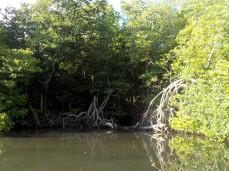 Riesige Wurzeln, die unter anderem das Land vor Tsunamis schützen