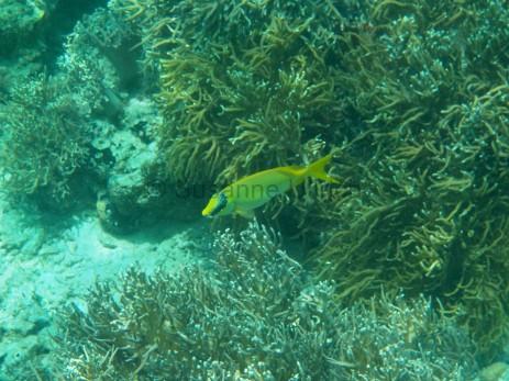Noch ein Indischen Korallen-Kaninchenfisch