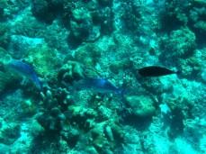 Die blau leuchtenden Fische könnten Jackfische sein und der rechts ist ein Kurznasen-Doktorfisch