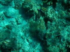 Ein Pfauenkaiserfisch