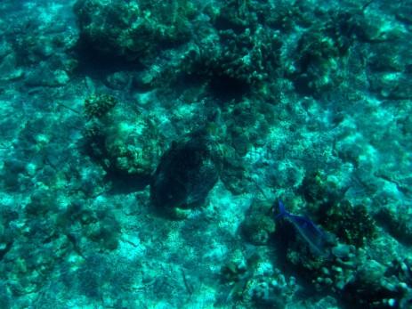 Die Schildkröte lässt sich von kleineren Fischen den Panzer abknabbern