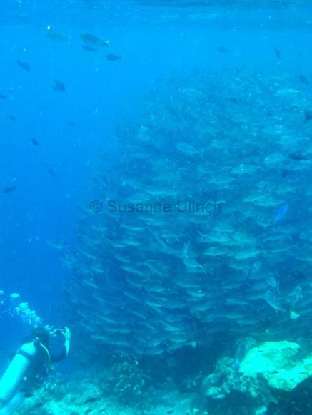 So viele Fische - angeblich alles Jackfische