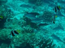 Links in weiß-schwarz ein Schwarm-Wimpelfisch