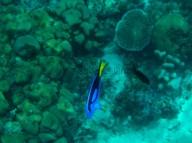 Leuchtet so schön: Der Paletten-Doktorfisch