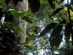 Guten Morgen! Dieser junge Orang Utan döst noch etwas in seinem Nest. Zu sehen ist nur seine Hand