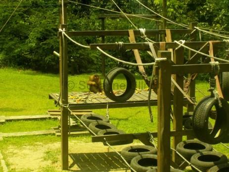 Als die Orang Utans weg sind, schnappt sich ein Makake das übrig gebliebene Essen