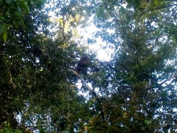 Mein erster wilder Orang Utan - ich bin wahnsinnig glücklich