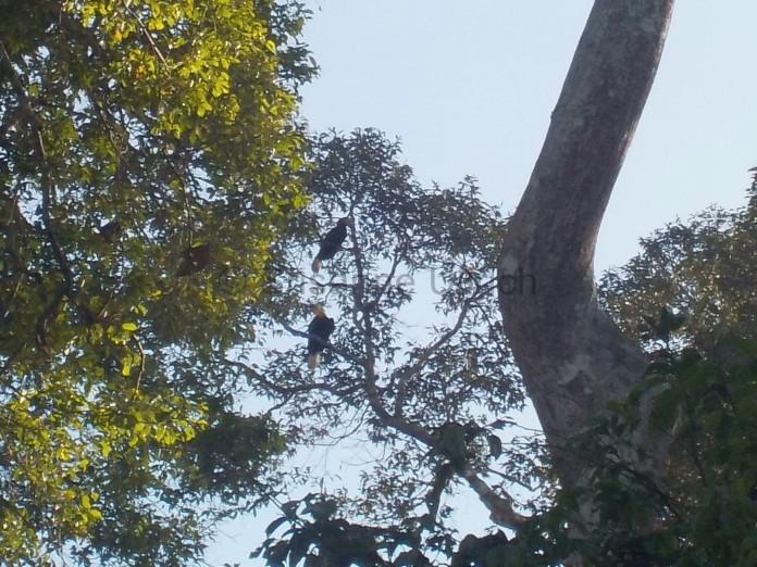 Zwei White Hornbill hoch oben im Baum