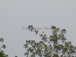 Und noch ein White Hornbill. Die sind hier sehr verbreitet