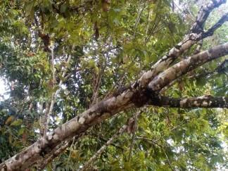 Gut getarnt: Ein Waran sitzt auf dem Baum - hier ist nur der Körper zu sehen