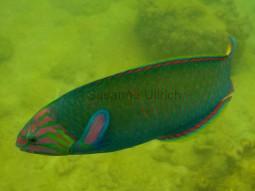 Weiblicher Mondsichel-Lippfisch (die Männchen sind leuchtend blau)