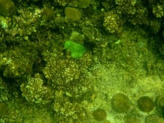 Zwischendurch gibt es immer wieder solche phosphoreszierendene Korallen