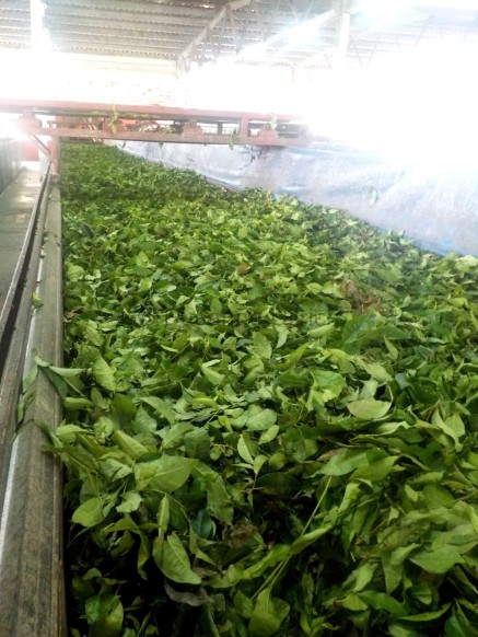 Rundgang in der Tee-Fabrik: Hier werden die Teeblätter getrocknet