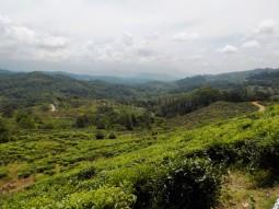 Die weiten Teefelder des Sabah Tea Gardens